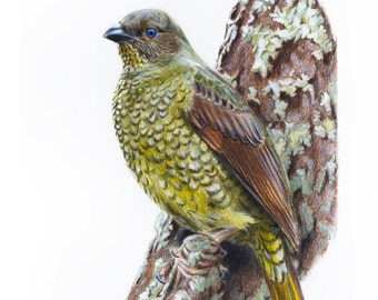 Female Satin Bowerbird - Australian Birds - Bird Print - 8x10""