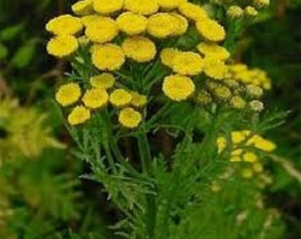 Tansy Golden Button Flower Seeds / Tanacetum Vulgare / Perennial 100+