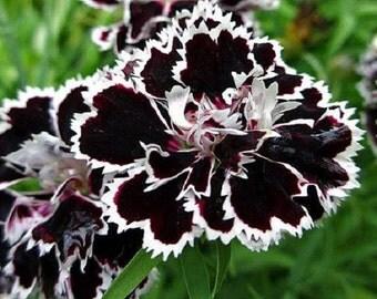 Black/White Velvet Lace Carnation Flower Seeds / Dianthus / Perennial   30+
