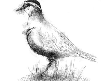 Dotterel bird | Limited edition fine art print from my original drawing. Free shipping.