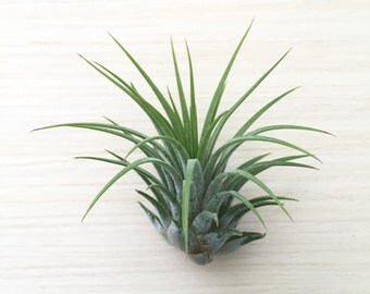 Tillandsia ionantha rubra air plant - indoor outdoor houseplant