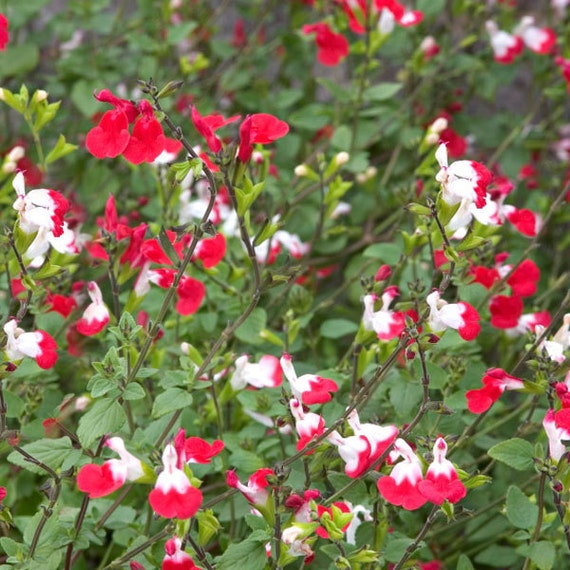 salvia hot lips excellent nectar source for hummingbirds. Black Bedroom Furniture Sets. Home Design Ideas