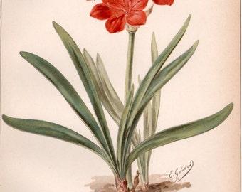 Antique Botanical Print, Amaryllis Illustration, Vallota Amaryllis Purpurea, Flora Lithograph, Vintage Lithograph, Botany, Cyrtanthus elatus