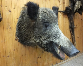 Wildboar taxidermy from CZECH forests