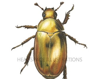 Gold Beetle  - Colored Pencil Insect Art Print by Headspace Illustrations