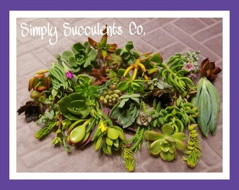 15 Succulent Cuttings DIY