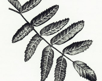 Ash Rowan Botanical Natural History Illustration