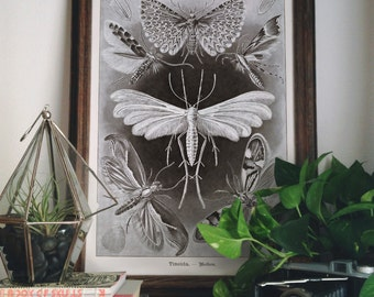 Moths and butterflies Poster Chart Science Print - Reproduction of Vintage Ernst Haeckel Tineida Educational  Diagram Insects Chart - CP270