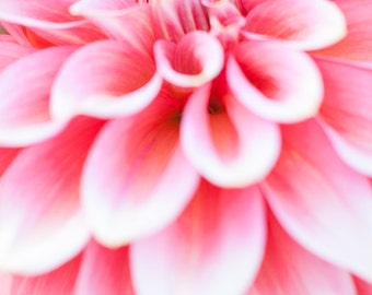 Stunning Pink Dahlia Detail