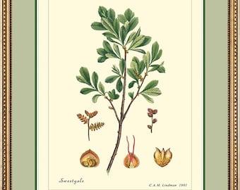 BOG MYRTLE or Sweet Gale - Vintage Botanical print reproduction 375