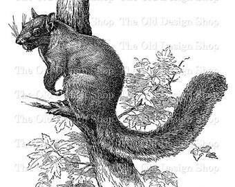 Squirrel Clip Art Vintage Printable Animal Illustration Iron On Transfer Digital Download PNG JPG Image