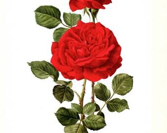 1962 Roses Rouges Vintage art botanique aquarelle florale rose Champs Elysées fleurs vintage