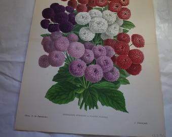 Linden Botanical Print - Cineraires