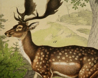 1886 Antique large size lithograph of DEERS, different species. 129 years old gorgeous print.