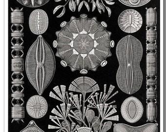 Ernst Haeckel Scientific Illustration, Haeckel Print, Poster, Educational Art, Biology Chart, Black and White Wall Art, Diatomea Print