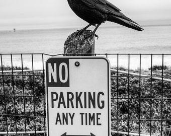 Crow Photo, Black Crow, Raven, Street Photography, Black Bird, Bird photography, Nature Photo, Black and White - 8x10 fine art photograph