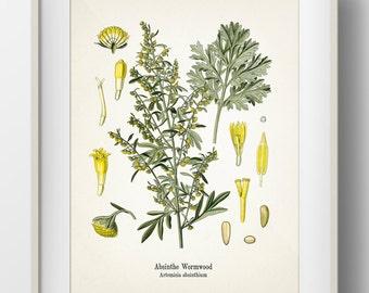 Absinthe Wormwood - Artemisia absinthium - KO-36- Fine art print of a vintage botanical natural history antique illustration