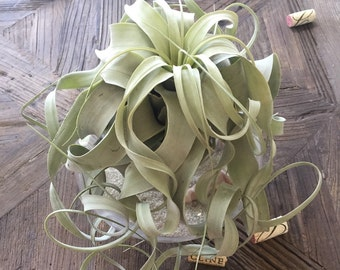 Medium Tillandsia xerographica