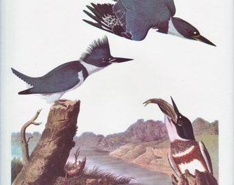 Belted Kingfisher Print by Audubon