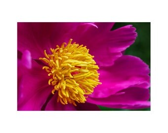 Fine Art Photography, Large Art Prints, Large Photography, Floral Wall Art, Photography Of Peonies, Flower Art, Fuchsia, Magenta, Yellow