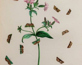 Large Antique Moth Print, 1860 Hand Coloured Engraving by Humphreys - Brown Moths on Yellow Archangel (Plate 96)