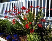 """10 Crocosmia 'Lucifer' Flower Bulbs SOUTH AFRICAN IRIS Perennial 38"""" Tall Red Flowers Attract Hummingbirds Mid-Late Summer Easy Growers!!!"""