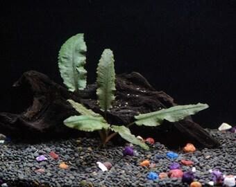 Potted Cryptocoryne Wendtii Bronze Aquarium Plant