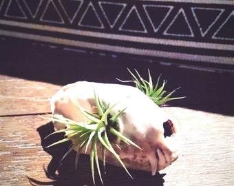 Skunk Skull Tillandsia Planter