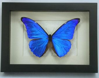 Brilliant Blue Morpho Rhetenor -Real Framed Butterfly -Dazzling!