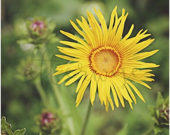Yellow Flower Photography. Flower Photo. Flower Print. Floral Art Print. Botanical Print. Fine Art Photography. Flower Photography.