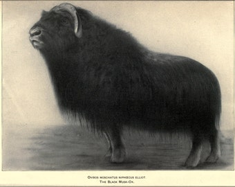 24x36 Poster . Black Musk Ox Illustration 1905