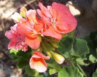 4 Geranium Pelargonium Stem Unrooted Cuttings - Coral