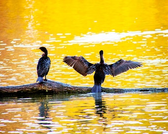 Sunset Photo with Birds,Sunset Photograph of Birds,Photo of Sunset,Bird Photo Sunset,Bird Photograph of Sunset,Picture of Cormorant,Sunset