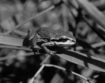 DIGITAL DOWNLOAD photo, FROG photo, tree frog picture, wedding gift idea, nursery print, black and white nature photography, instant print