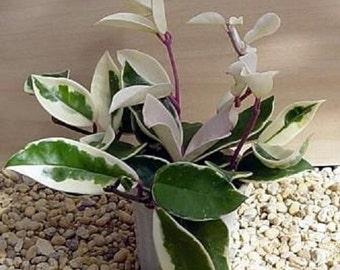 "Strawberries & Cream Wax Plant - Hoya - Great House Plant - 4"" Hanger Pot (FREE SHIPPING)"