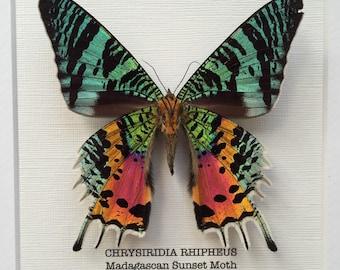 Madagascan Sunset Moth Frame