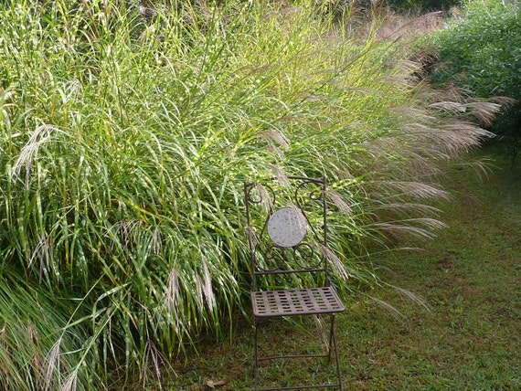 Variegated ornamental grass broad leaf easy to grow grows for Hearty ornamental grasses