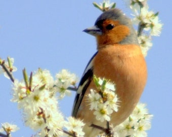 male chaffinch, Bird Photography, nature photography, countryside, photographs, wall art Deco gift, British wildlife, country wildlife