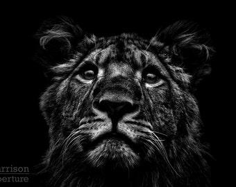Khari (African Lion) - Black & White print | HarrisonAperture