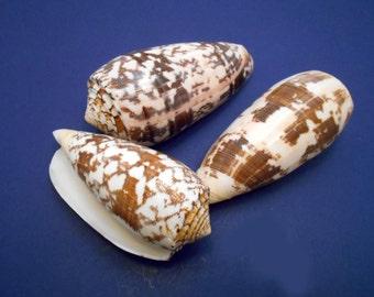 "3 Beautiful Conus Striatus Shells (about 4"") Seashell Beach Crafts Nautical Decor Coastal Cottage Aquarium"