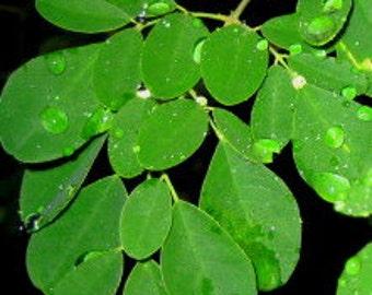 Organic Moringa Leaf Tincture