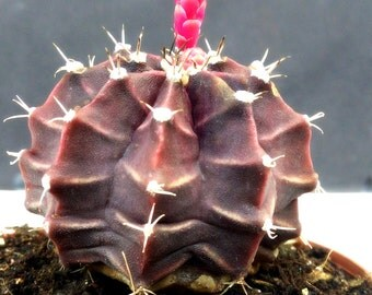 Gymnocalycium Mihanovichii Cactus - 1 Live Plant