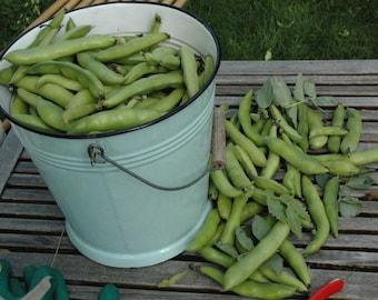 Bean Broad Fava Windsor HEIRLOOM Seeds Large pack