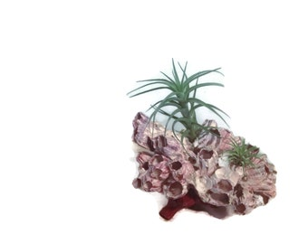 Barnacle, Barnacles, Air Plants, Tillandsia and Wood Stand, Purple Barnacle Cluster Planter with Air Plants Great for Home Decor