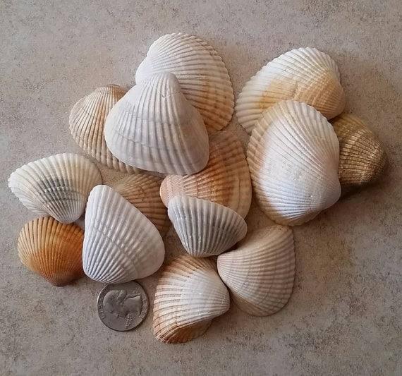 Large order bulk seashells st augustine beach seashells for Large seashells for crafts