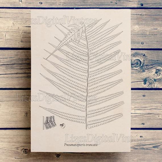 Home wall art, Fern, Antique print, Botanical fern illustration, Digital print, Vintage Clip Art, Fern clip art, Art print vintage, JPG PNG