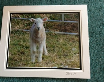 A4 photo of a recently born lamb