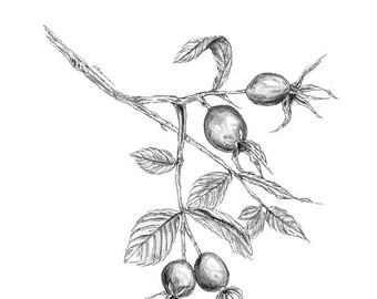 Rose Hips | Flower Print | Rose Art | Botanical Print | Flower Art Print | Rose Print | Flower Art | Floral Print | Botanical Illustration