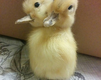Siamese taxidermy ducking. Yellow colour. Two headed animal. Sideshow gaff.