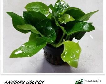 Anubias golden for aquarium planted tank